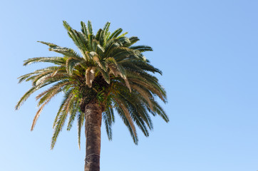 beautiful palm tree standing alone in the sun with clear blue sky for a background