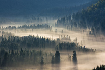 Tuinposter Bos spruce trees down the hill to coniferous forest in fog at sunrise