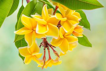 bouquet de plumeria, frangipanier, fleurs exotiques