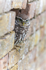 Wall Mural - Little Owl Looking Out of a Hole in a Wall