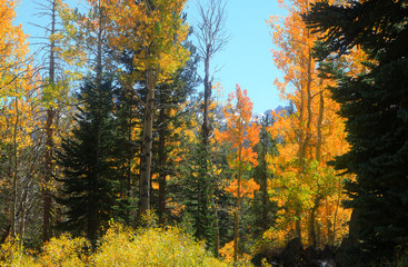 Colorful Aspen trees in Sierra mountains California