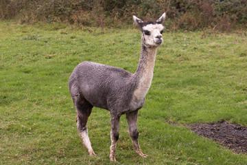 Llama or Alpaca