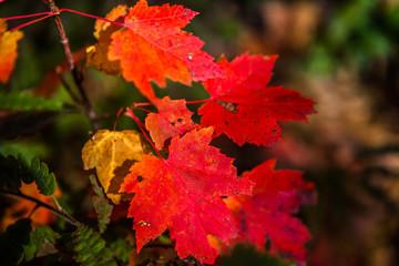 Red and amber maple leaves near Gravenhurst, Muskoka Region of Ontario, Canada