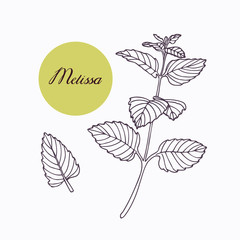 Hand drawn melissa branch with leaves isolated on white