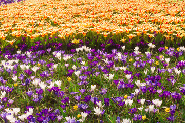 tulip and crocus field in Holland
