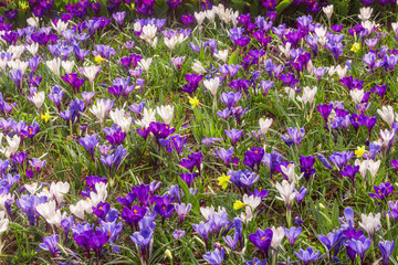 crocus in Holland