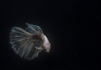 Betta fish in action on black background