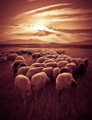 Sheep on Sunset