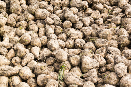 Pile of stacked sugar beet roots after harvest in Friesland, the Netherlands