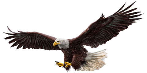 Bald eagle flying draw and paint on white background vector illustration.