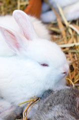 Young white bunny.