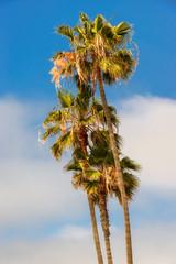 Palm trees at Santa Monica beach, California