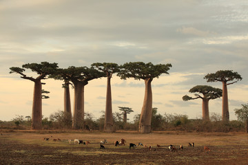 Photo sur Plexiglas Baobab allee des baobabs and a herd of goats