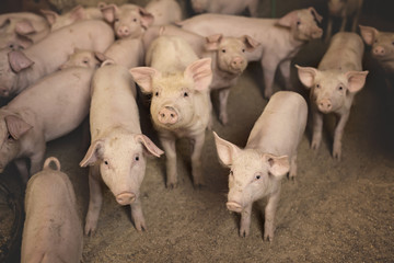 Group of pigs in the pen looking at camera. Shallow depth of field.