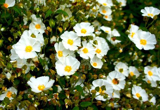 White Rockrose (Cistus hybridus) flower