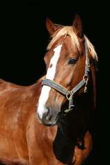 Close up portrait of a purebred chestnut stallion