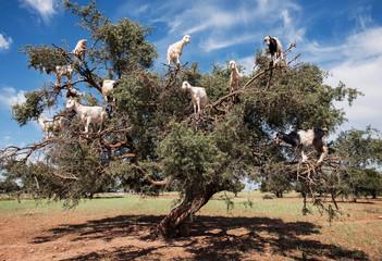 Argan l'albero delle capre