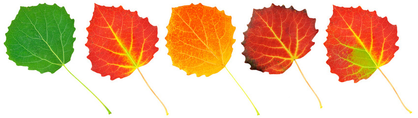 colored aspen leaves isolated on white background
