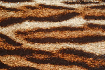 fur of bengal tiger