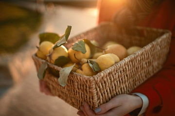 Hands holding a basket with mellow quince