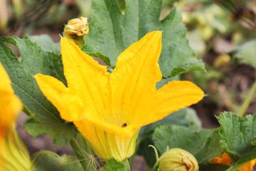 Yellow pumpkin flower in the garden close-up