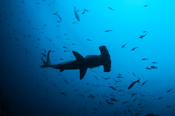 Scalloped Hammerhead Shark Underwater