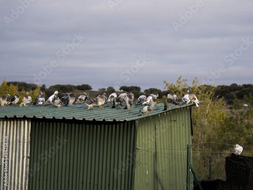 Palomas muchas palomas posadas sobre caseta verde de - Caseta de metal ...