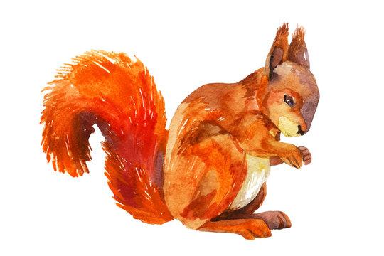 Watercolor sketch of a squirrel.