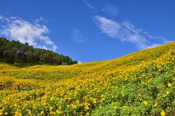 mexican sunflower field
