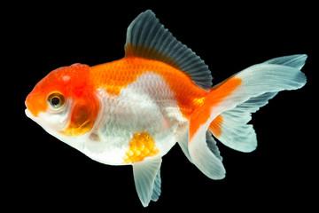 Fry Of Oranda Goldfish