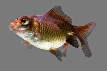 Telescope Juvenile Goldfish