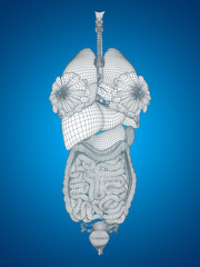 3D human or woman internal or thorax organs for anatomy or health