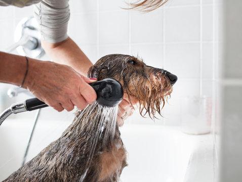 Toilettatura cane bassotto