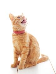 Wall Mural - Cute ginger kitten