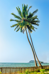 Two beautiful tall coconut palms at sunset