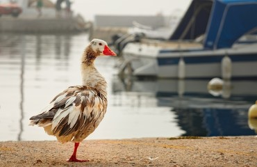 One goose on the shore of the Gulf of the Aegean Sea on blurred background boat in a misty summer morning