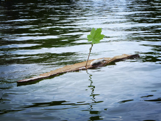 dead fish on a wooden raft with leaf