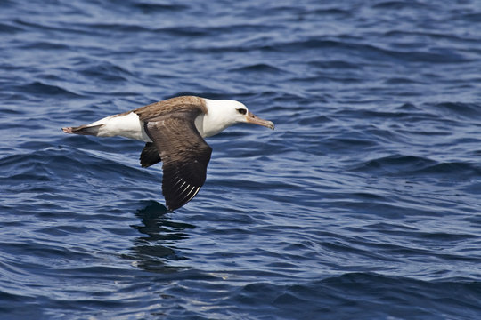 The Laysan Albatross, Phoebastria immutabilis gliding over the waves