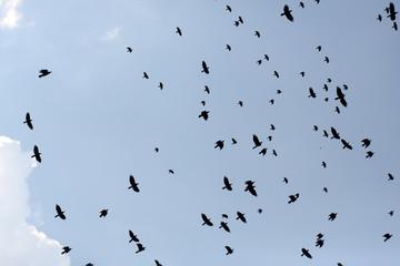 Group of ravens flying in sky