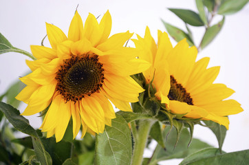 yellow sunflower - helios