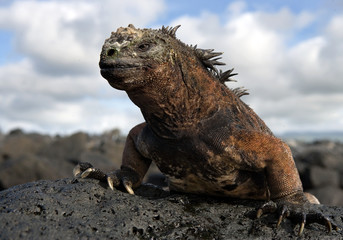 Portrait of the sea iguana sitting on the rocks. Close-up. Galapagos Islands. An excellent illustration.
