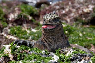 The marine iguana eats algae on the rocks. Close-up. Galapagos Islands. An excellent illustration.