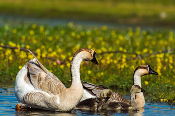 Happy family of goose in the lake with blur beautiful flowers ba