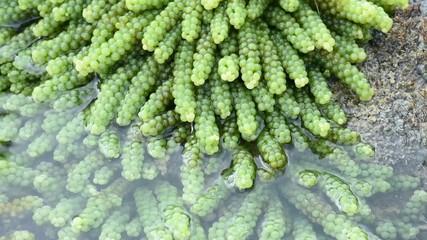 Underwater sea grapes