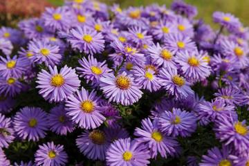 purple flowers . autumn