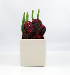 A purple baby cactus plant (Opuntia macrocentra) with green sprouts on a white background