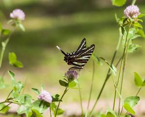 Zebra Swallowtail (2)