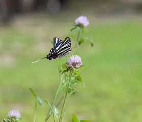 Zebra Swallowtail (1)