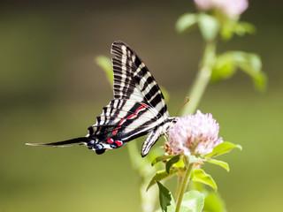 Zebra Swallowtail (3)