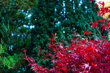 Japanese maple, Acer palmatum with red leaves in autumn. Fall season treetops against dark background